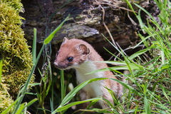 Stoat Royalty Free Stock Images