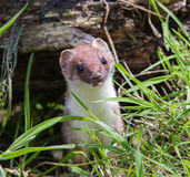 Stoat Royalty Free Stock Image