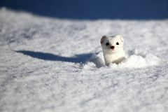 Stoat Mustela erminea also known as the short-tailed weasel
