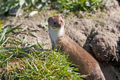 Stoat Mustela erminea Royalty Free Stock Photography