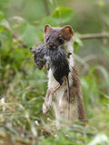 Stoat Mustela erminea during hunting for rodents Stock Photo