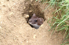A Stoat Mustela erminea peaking out of a hole in the ground. Royalty Free Stock Image