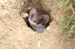A Stoat Mustela erminea peaking out of a hole in the ground. Stock Images