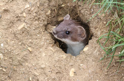 A Stoat Mustela erminea peaking out of a hole in the ground. Stock Photos