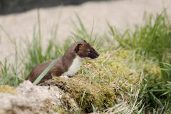 Stoat, Mustela erminea Stock Photography