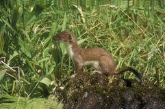 Stoat, Mustela erminea, Royalty Free Stock Photography
