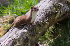 Stoat Royalty Free Stock Photos