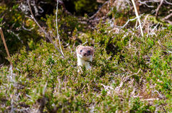 Stoat peaking from undegrowth. Stoat (Mustela erminea)  peaking out from heather Royalty Free Stock Photo