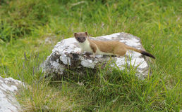 Stoat. On rock stares at the photographer, Mainland,  Shetland Islands, Scotland Royalty Free Stock Photos