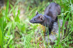 Stoat Searching for Something in the Wild Royalty Free Stock Photography