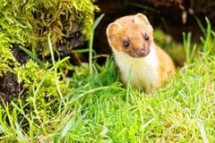 Stoat or Short-Tailed Weasel Royalty Free Stock Images