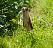 Stoat standing Stock Photos