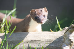 Stoat in the sun Stock Image