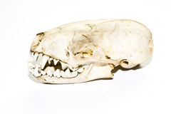 Stoat Weasel Skull on White background Royalty Free Stock Photos