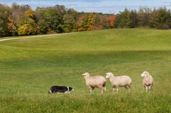 Stock Dog (Border Collie) and Sheep (Ovis aries) Standoff. Fall background royalty free stock images