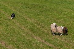 Stock Dog Herds In Group of Sheep Ovis aries Stock Photos