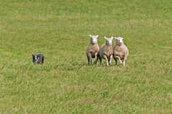 Stock Dog Herds in Sheep (Ovis aries) Royalty Free Stock Photos