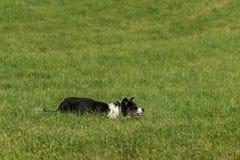 Stock Dog Lies Alert in Grass. At sheep dog herding trials Royalty Free Stock Photos