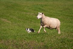 Stock Dog and One Leaping Sheep Ovis aries Stock Photo