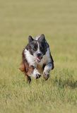 Stock Dog Runs In Royalty Free Stock Photo