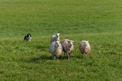 Stock Dog Runs In Behind Group of Sheep Ovis aries. At sheep dog herding trials Royalty Free Stock Images