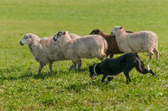 Stock Dog Runs with Group of Sheep Ovis aries. At sheep dog herding trials stock photos