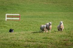 Stock Dog Runs Group of Sheep Ovis aries In Royalty Free Stock Photo