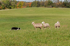 Stock Dog and Sheep (Ovis aries) Standoff Royalty Free Stock Photography