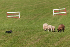 Stock Dog Watches Group of Sheep Ovis aries Stock Photo