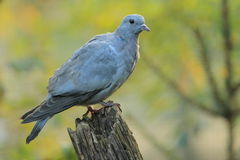 Stock dove. The stock dove sitting on the wood stub Stock Photos