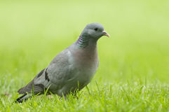 Stock Dove;( Columba oenas) Stock Images