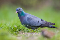 Stock dove Stock Photos