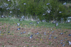 Stock dove, Columba oenas Stock Photos
