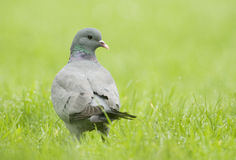 Stock Dove; (Columba oenas) Royalty Free Stock Images