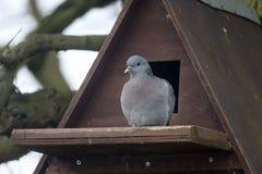 Stock dove, Columba oenas Royalty Free Stock Photography