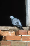 Stock dove, Columba oenas Royalty Free Stock Photo