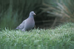 Stock dove, Columba oenas Royalty Free Stock Images