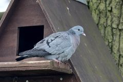 Stock dove, Columba oenas Stock Image