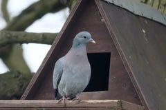Stock dove, Columba oenas Royalty Free Stock Photos