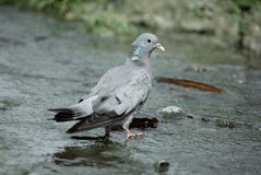 Stock dove, Columba oenas Royalty Free Stock Photography
