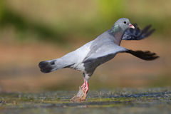 Stock dove, Columba oenas Stock Photography