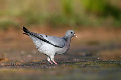 Stock dove, Columba oenas Stock Photo