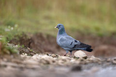 Stock dove, Columba oenas Stock Images