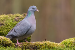 Stock dove Royalty Free Stock Image