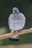 Stock dove sit on the knot Royalty Free Stock Photos