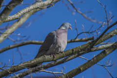 Stock Dove sitting on a branch Royalty Free Stock Images