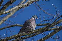 Stock Dove sitting on a branch Stock Photos