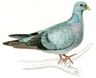 Stock Dove or Stock Pigeon (Columba oenas) Royalty Free Stock Image