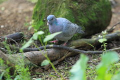 Stock dove Royalty Free Stock Photography
