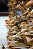 Stock fish. Business of dried cod fish in the lofoten islands Stock Photography